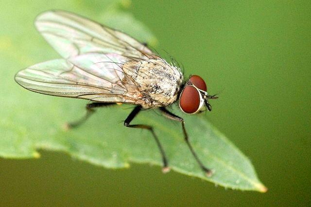 Helina maculipennis