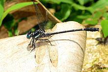 Heliogomphus httpsuploadwikimediaorgwikipediacommonsthu