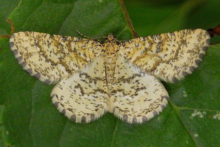 Heliomata wwwlepiforumdelepidopterenforumforum2picspi