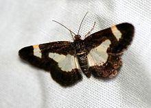 Heliomata cycladata httpsuploadwikimediaorgwikipediacommonsthu