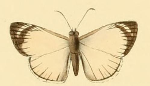 Heliopetes leucola