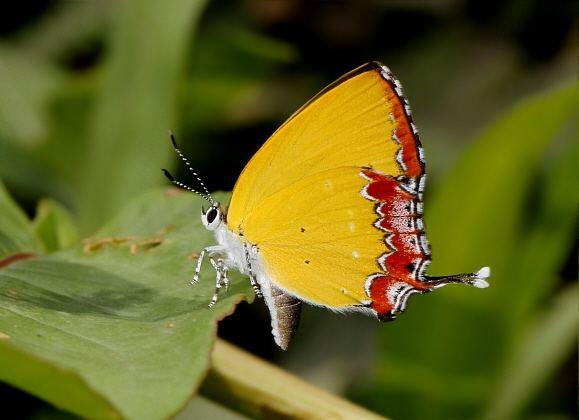 Heliophorus Butterflies of India Heliophorus epicles