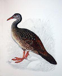 Heliornithidae httpsuploadwikimediaorgwikipediacommonsthu