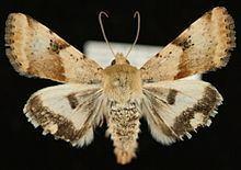 Heliothis phloxiphaga httpsuploadwikimediaorgwikipediacommonsthu