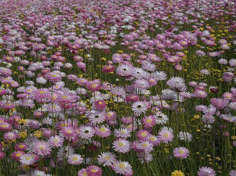 Helipterum wwwgardenershqcomflowerimageRhodanthechloroce