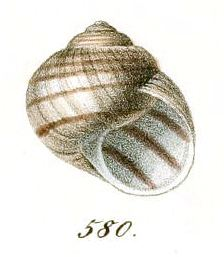 Helix figulina httpsuploadwikimediaorgwikipediacommonsee