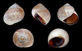 Helix melanostoma httpsuploadwikimediaorgwikipediacommonsthu