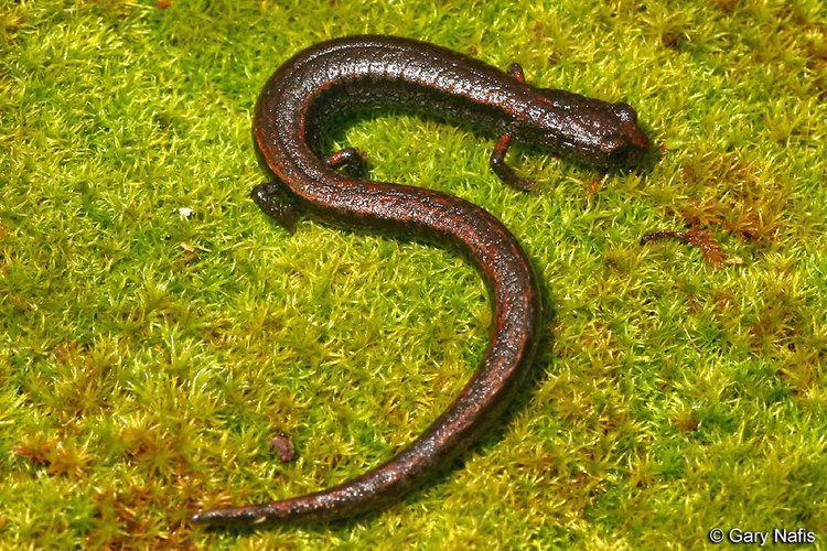 Hell Hollow slender salamander wwwcaliforniaherpscomsalamandersimagesbdiabol