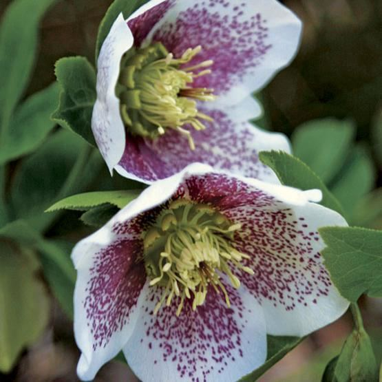 Hellebore Hellebores Cure the LateWinter Blues Fine Gardening