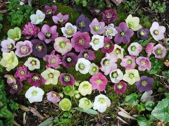 Hellebore HOW TO PLANT AND GROW HELLEBORES The Garden of Eaden