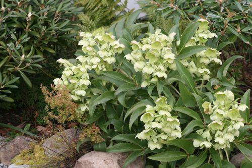 Helleborus argutifolius View Plant Great Plant Picks