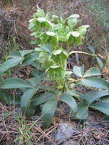 Helleborus argutifolius httpsuploadwikimediaorgwikipediacommonsthu