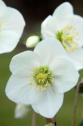 Helleborus niger Helleborus niger Christmas roseRHS Gardening