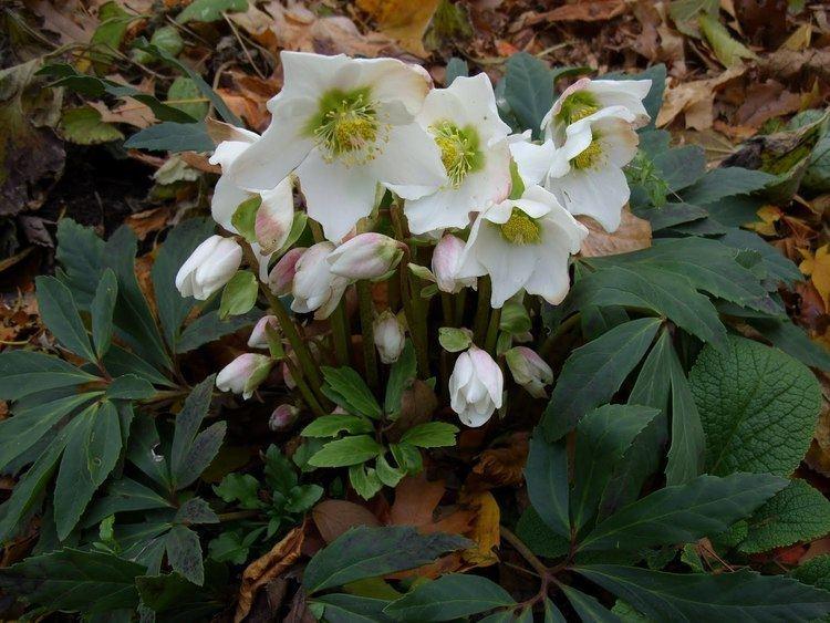 Helleborus niger Helleborus niger flowers Pinterest Shades Google and Search