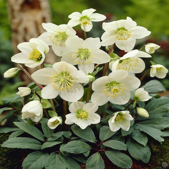 Helleborus niger Helleborus niger White Christmas Rose 1 plant Buy online order