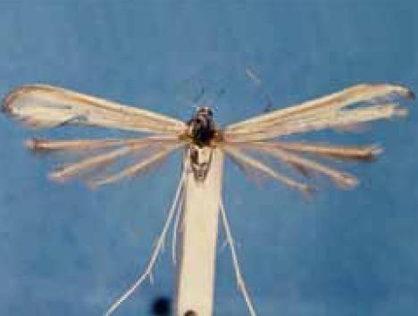 Hellinsia agraphodactylus