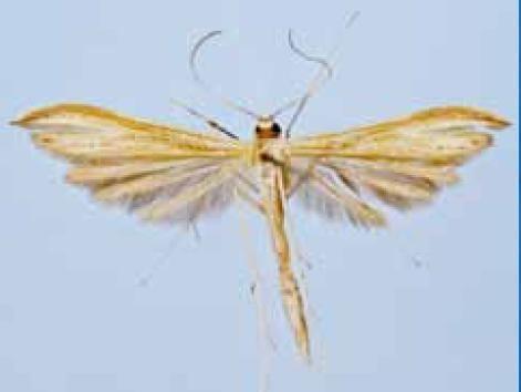 Hellinsia glaphyrotes