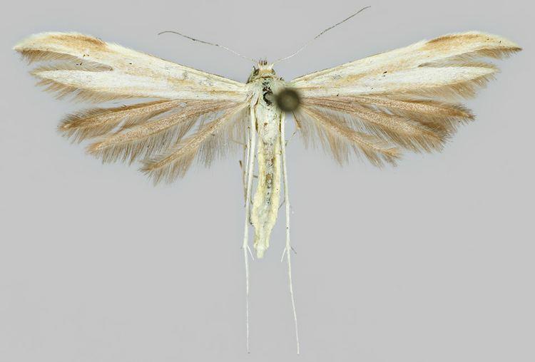 Hellinsia osteodactyla
