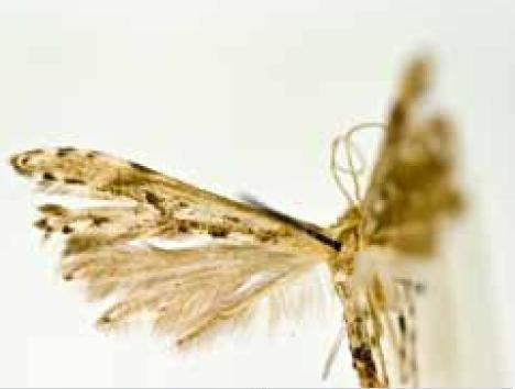 Hellinsia paraglochinias