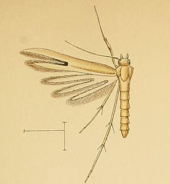 Hellinsia pectodactylus