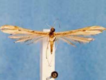 Hellinsia tepidus