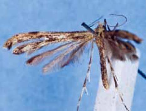 Hellinsia tetraonipennis