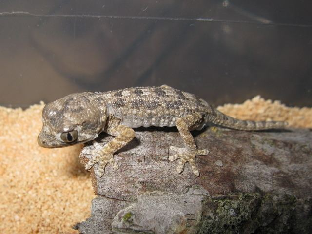Helmeted gecko Geckonia chazalia Ridge and Valley Reptiles