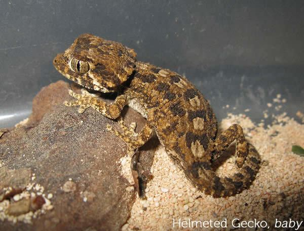 Helmeted gecko Care and Breeding of Helmeted Geckos Gecko Time Gecko Time