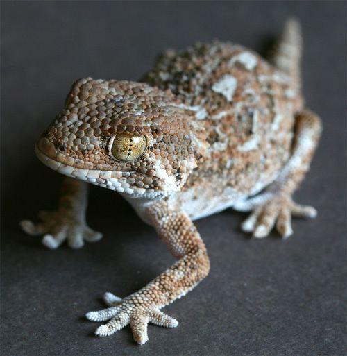 Helmeted gecko My helmeted geckos