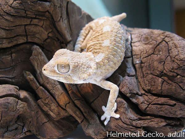 Helmeted gecko wwwgeckotimecomwpcontentuploads200907helme