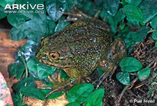 Helmeted water toad Helmeted water toad videos photos and facts Calyptocephalella