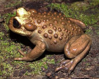 Helmeted water toad It39s the Helmeted water toadamp8230 this time with information