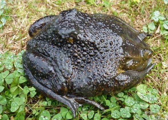 Helmeted water toad Chilean Appetite for Helmeted Water Toad May Lead to Species