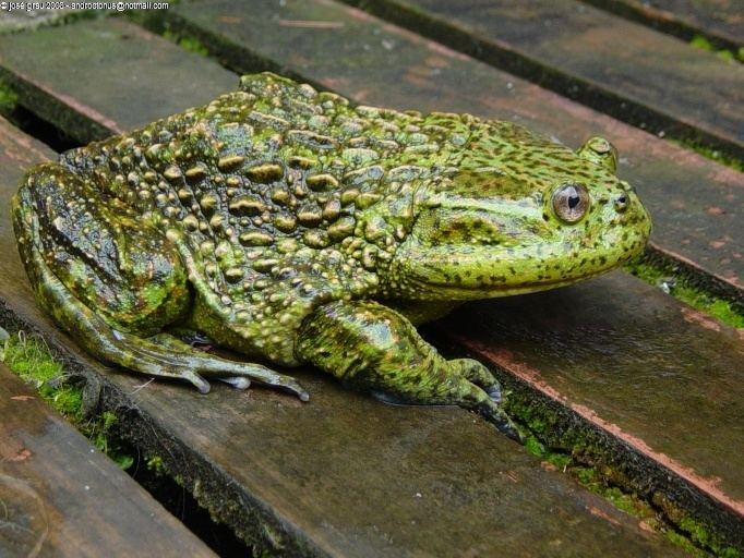 Helmeted water toad httpsuploadwikimediaorgwikipediacommons44