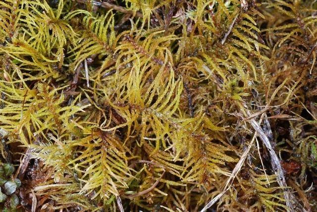 Helodium blandowii Helodium blandowii details Forestventurecom