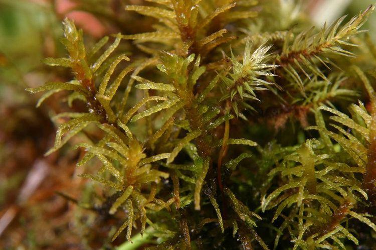 Helodium blandowii Diversity of Mosses in California Fens