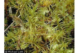Helodium blandowii Plants Profile for Helodium blandowii Blandow39s helodium moss