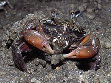 Heloecius httpsuploadwikimediaorgwikipediacommonsthu