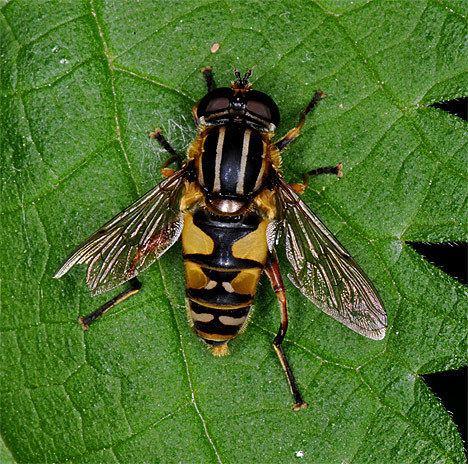 Helophilus trivittatus Helophilus trivittatus Helophilus trivittatus Female Mating