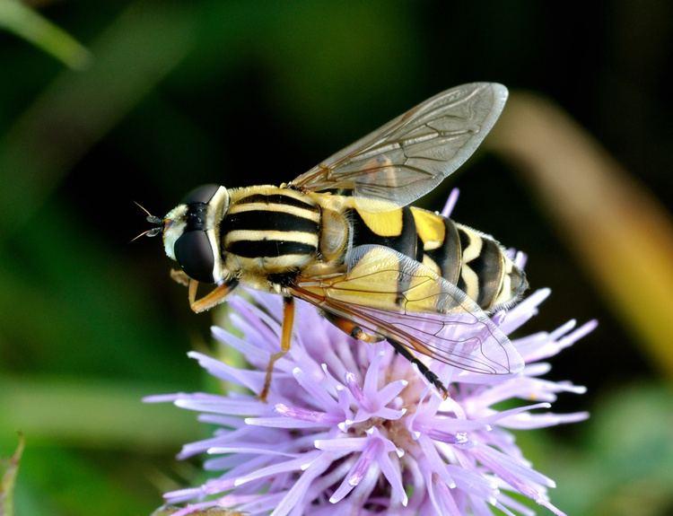 Helophilus trivittatus FileHelophilus trivittatus qtl3jpg Wikimedia Commons