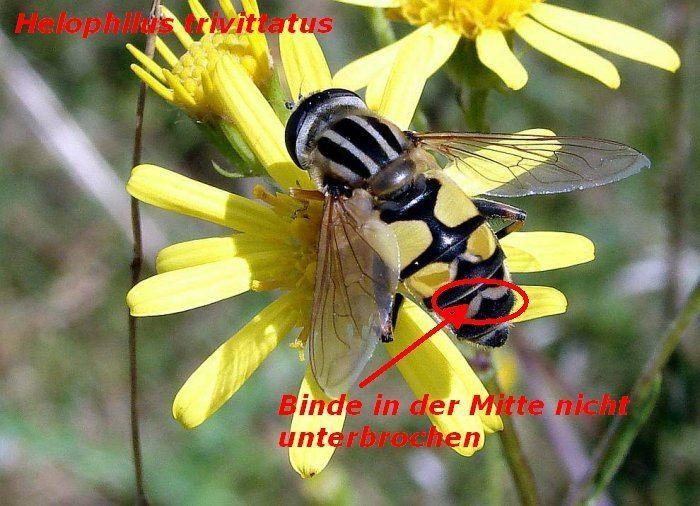 Helophilus trivittatus Kleines Artenportrait mit Text und Fotos von Helophilus trivittatus