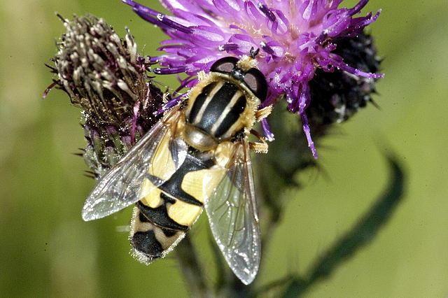 Helophilus trivittatus httpsuploadwikimediaorgwikipediacommons33