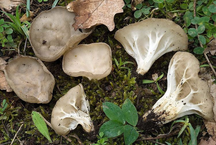 Helvella costifera Helvella costifera Funghi Non Commestibili o Sospetti Funghi in