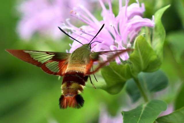 Hemaris Hemaris thysbe the Hummingbird Clearwing Moth
