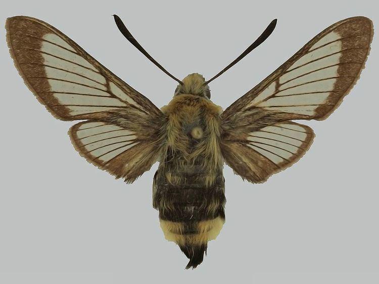 Hemaris alaiana