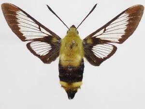 Hemaris Moth Photographers Group Hemaris thysbe 7853