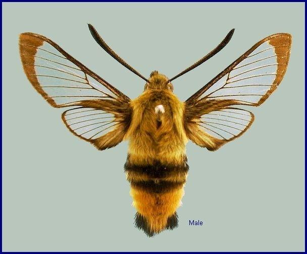 Hemaris tityus Sphingidae of the Eastern Palaearctic Hemaris tityus