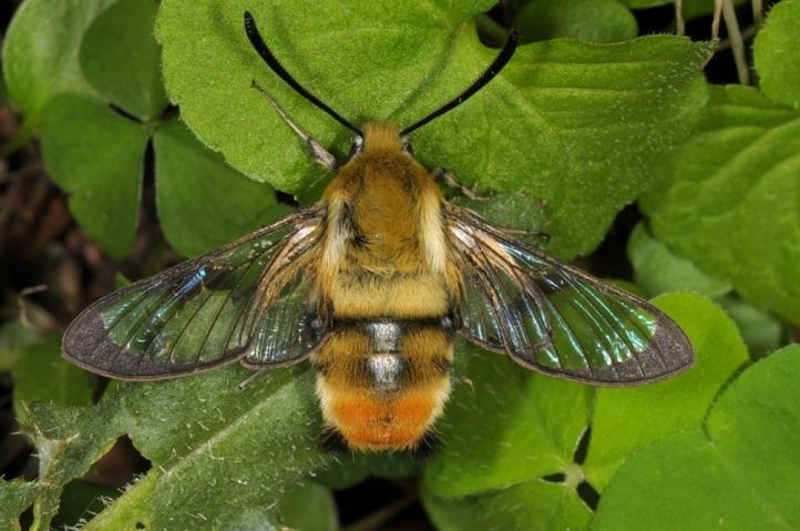 Hemaris tityus European Lepidoptera and their ecology Hemaris tityus
