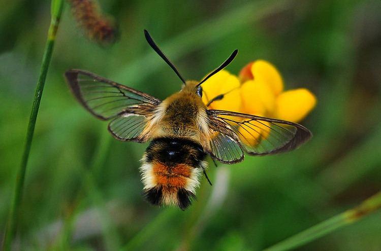 Hemaris tityus Narrowbordered Bee Hawkmoth Hemaris tityus UKMoths