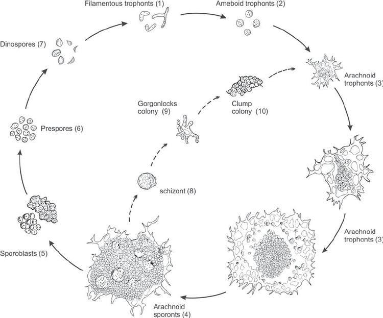 Hematodinium Schematic diagram of the in vitro life cycle of Hematodinium